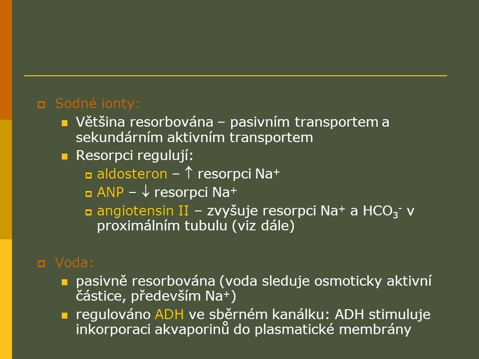  Sodné ionty: Většina resorbována – pasivním transportem a sekundárním aktivním transportem Resorpci regulují:  aldosteron –  resorpci Na +  ANP –  resorpci Na +  angiotensin II – zvyšuje resorpci Na + a HCO 3 - v proximálním tubulu (viz dále)  Voda: pasivně resorbována (voda sleduje osmoticky aktivní částice, především Na + ) regulováno ADH ve sběrném kanálku: ADH stimuluje inkorporaci akvaporinů do plasmatické membrány