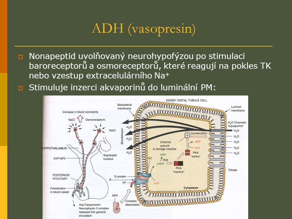 ADH (vasopresin)  Nonapeptid uvolňovaný neurohypofýzou po stimulaci baroreceptorů a osmoreceptorů, které reagují na pokles TK nebo vzestup extracelulárního Na +  Stimuluje inzerci akvaporinů do luminální PM: