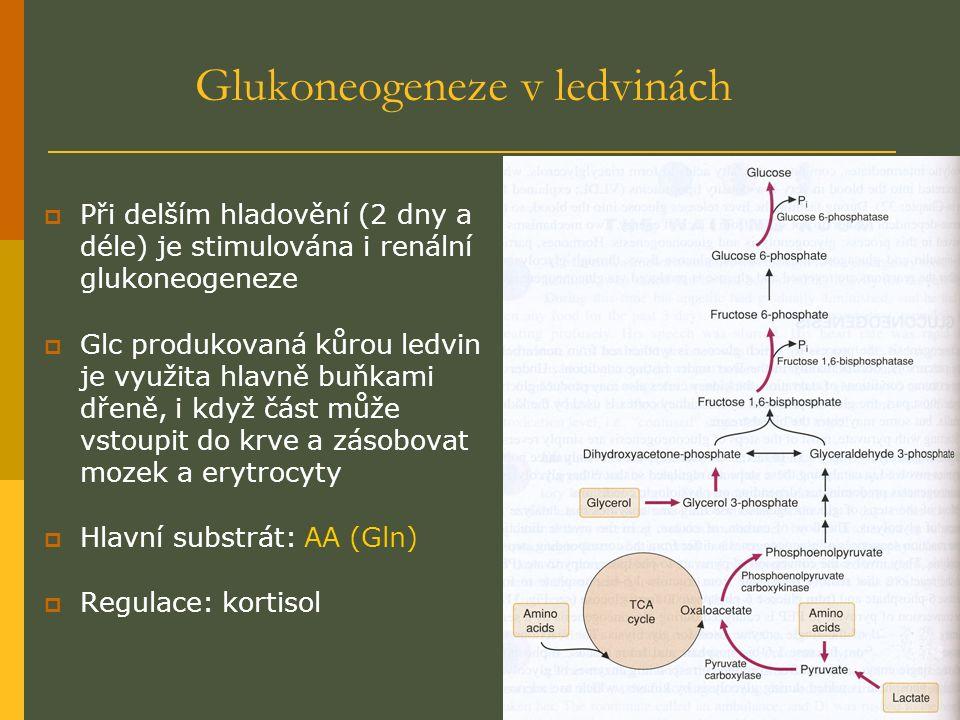 Glukoneogeneze v ledvinách  Při delším hladovění (2 dny a déle) je stimulována i renální glukoneogeneze  Glc produkovaná kůrou ledvin je využita hlavně buňkami dřeně, i když část může vstoupit do krve a zásobovat mozek a erytrocyty  Hlavní substrát: AA (Gln)  Regulace: kortisol
