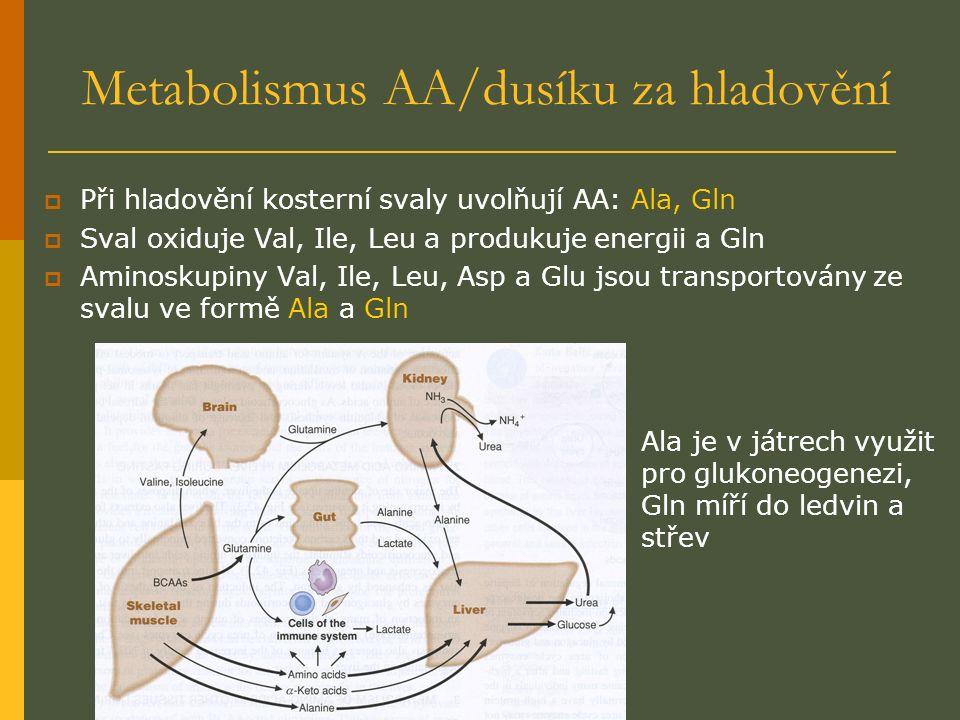 Metabolismus AA/dusíku za hladovění  Při hladovění kosterní svaly uvolňují AA: Ala, Gln  Sval oxiduje Val, Ile, Leu a produkuje energii a Gln  Aminoskupiny Val, Ile, Leu, Asp a Glu jsou transportovány ze svalu ve formě Ala a Gln Ala je v játrech využit pro glukoneogenezi, Gln míří do ledvin a střev