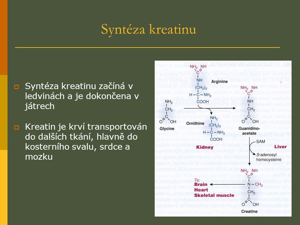 Syntéza kreatinu  Syntéza kreatinu začíná v ledvinách a je dokončena v játrech  Kreatin je krví transportován do dalších tkání, hlavně do kosterního svalu, srdce a mozku