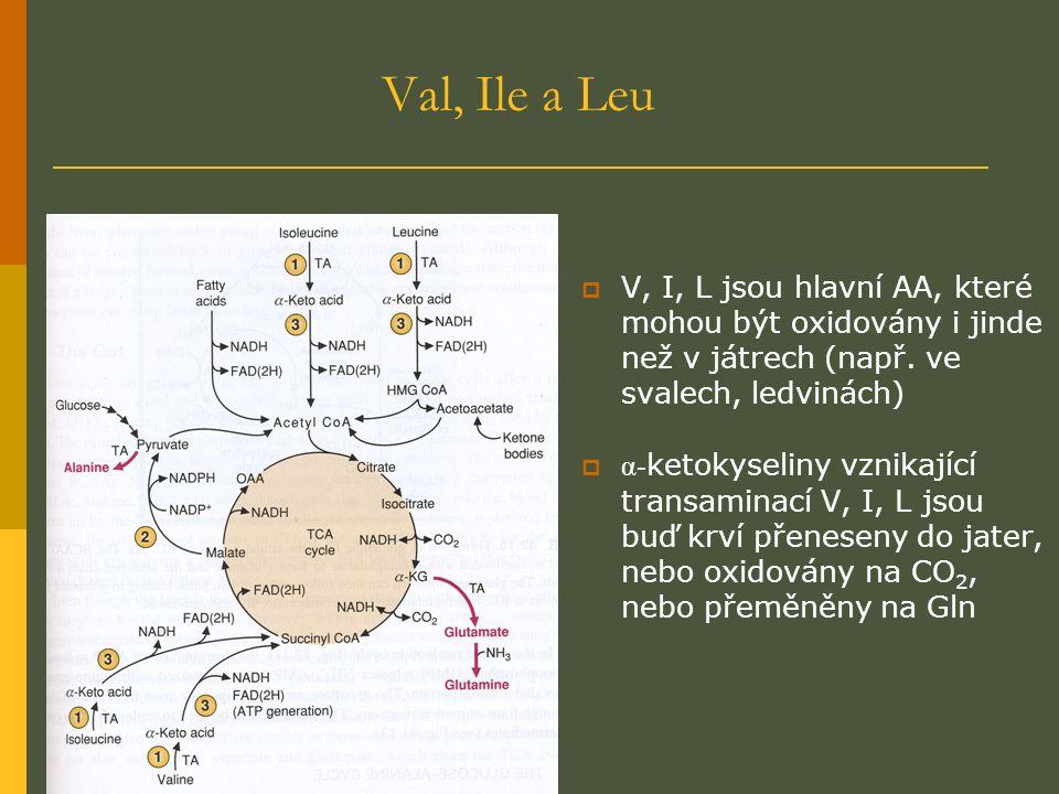 Val, Ile a Leu  V, I, L jsou hlavní AA, které mohou být oxidovány i jinde než v játrech (např.