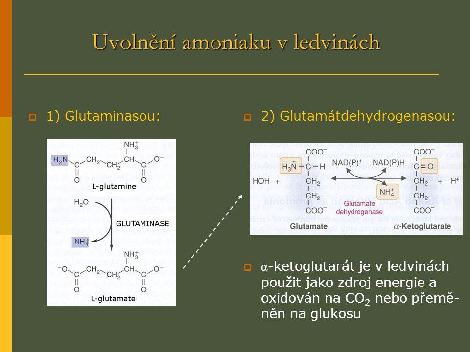 Uvolnění amoniaku v ledvinách  1) Glutaminasou:  2) Glutamátdehydrogenasou:  α -ketoglutarát je v ledvinách použit jako zdroj energie a oxidován na CO 2 nebo přemě- něn na glukosu