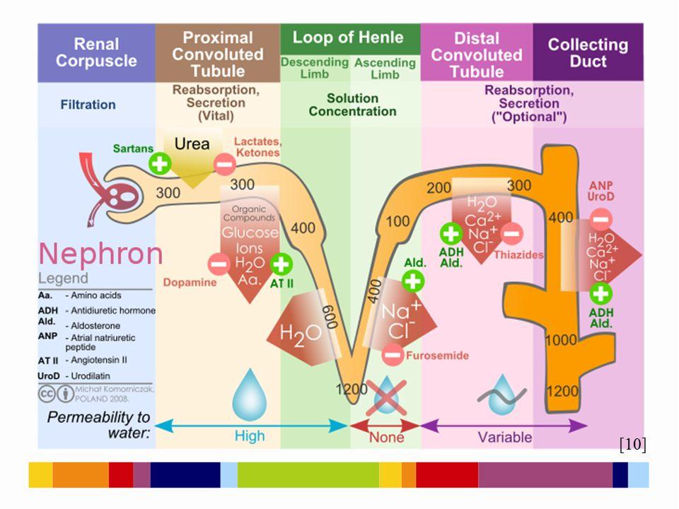 [3] Řízení činnosti ledvin nervové – hypotalamus hormonální – aldosteron ADH angiotenzin (renin)
