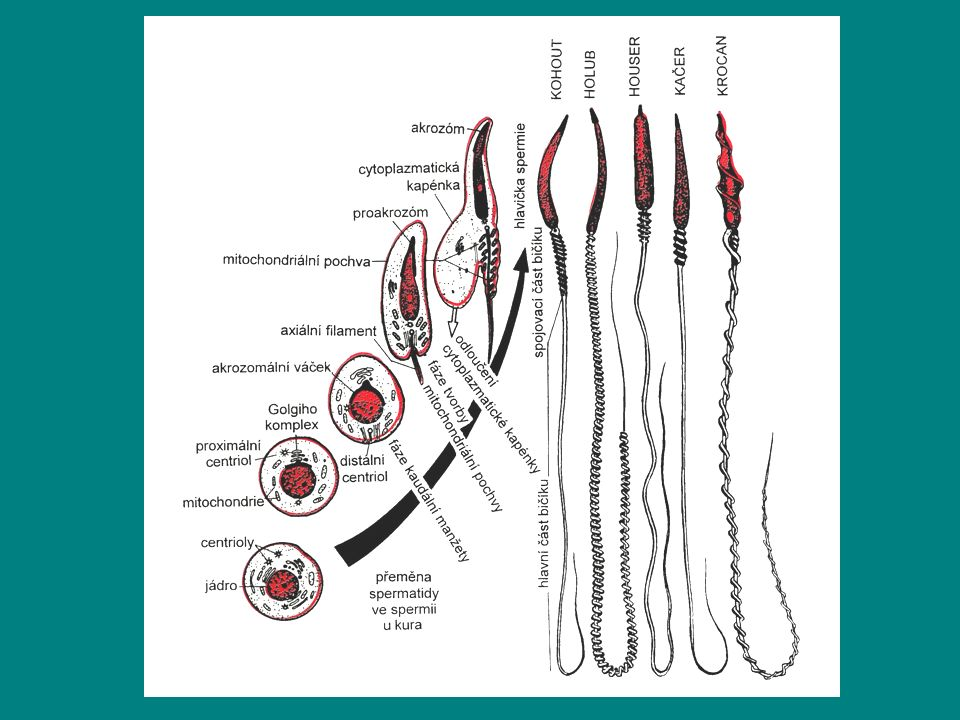 Anatomie pohlavního ústrojí drůbeže Samičí pohlavní orgány: –Vyvinutý pouze levý vaječník a vejcovod –Vaječník: hroznovitý útvar v době aktivní činnosti se mnohonásobně zvětšuje (z 2-3 g na 35-40g) –Na vaječníku 3000-7000 oocytů, oocyt obsahuje jádro, na okraji blíže k vaječníku zárodečný terčík, proti němu stigma /místo bez cév, kde dochází k prasknutí folikulárního obalu) –Oplození žloutkové koule v nálevce vejcovodu –Cesta spermií do nálevky vejcovodu 2-3 hodiny –Oplození 5-6 hodin, tvorba vejce 1 den –Tvorba hustého bílku (chaláz) – zúženina vejcovodu –Tvorba bílku– bílkovinotvorná část vejvocodu –tvorba podskořápečných blán – krček vejcovodu –Tvorba skořápky – děloha –Přechod dělohy do kloaky = pochva – hlen, který napomáhá snesení vejce