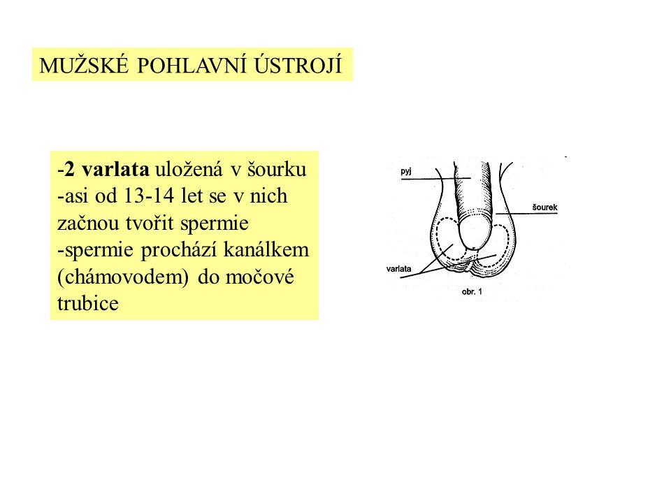 MUŽSKÉ POHLAVNÍ ÚSTROJÍ -2 varlata uložená v šourku -asi od 13-14 let se v nich začnou tvořit spermie -spermie prochází kanálkem (chámovodem) do močové trubice