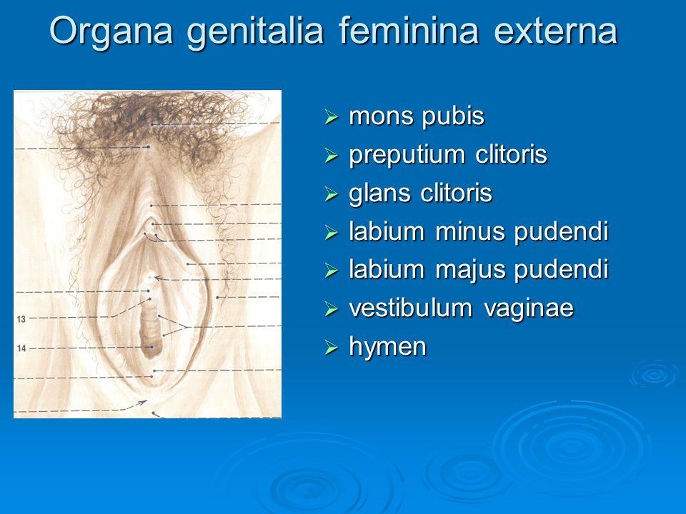 Organa genitalia feminina externa  mons pubis  preputium clitoris  glans clitoris  labium minus pudendi  labium majus pudendi  vestibulum vagina