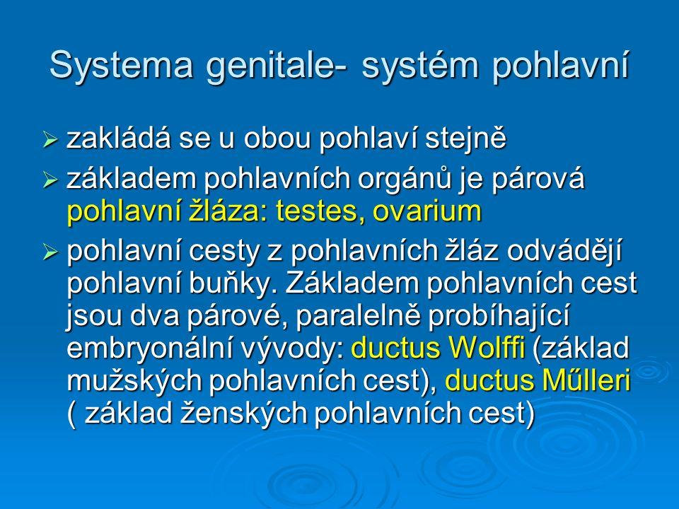 Organa genitalia masculina  Organa genitalia masculina interna: testes, epididymides, ductus deferentes, glandulae vesiculosae, ductus ejaculatorii, prostata, urethra masculina, glandulae bulbourethrales  Organa genitalia masculina externa: scrotum, penis s urethrou