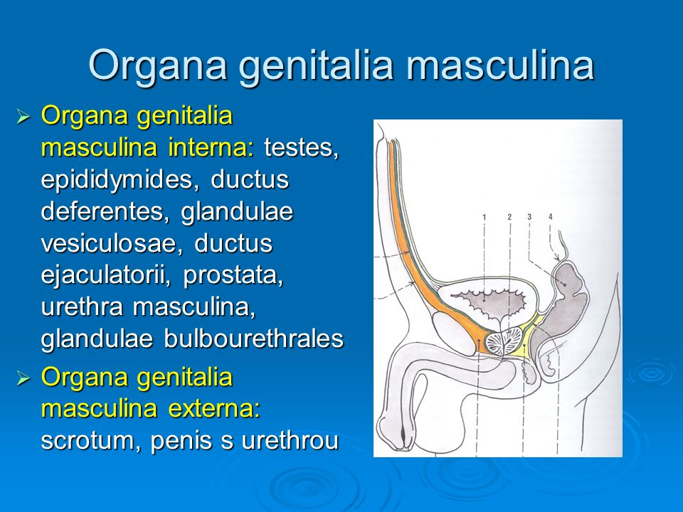 Organa genitalia feminina  Organa genitalia feminina interna: ovaria, tubae uterinae, uterus, vagina  Organa genitalia feminina externa: labia majora et labia minora pudendi, vestibulum vaginae, mons pubis, clitoris, bulbus vestibuli, glandula vestibularis major
