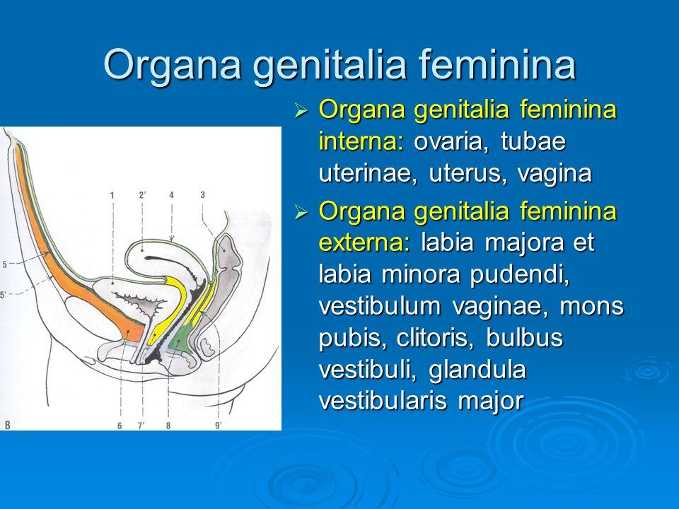 Přehled orgánů mužského pohlavního ústrojí  testis - spermiogeneze  epididymis – kyselé prostředí zastaví pohyblivost spermií jdoucích z varlat  ductus deferens – uložen ve funiculus spermaticus (a.testicularis, m.cremaster, plexus deferentialis)  glandula vesiculosa – měchýřkovité žlázky – tvoří 50% až 80% ejakulátu, obsahuje bílkoviny, fruktózu, prostaglandiny – stimulují činnost hladné svaloviny ženských pohlavních orgánů  Prostata – žláza předstojná 15% až 30% objemu ejakulátu  Urethra masculina – pars intramuralis, pars prostatica, intermedia, pars spongiosa