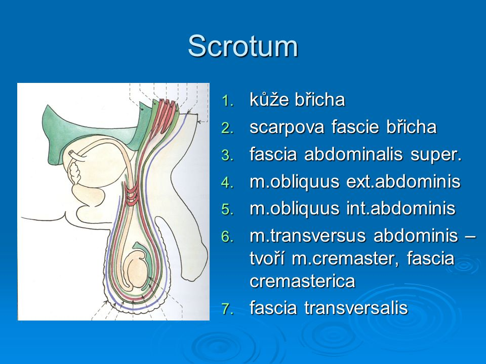 Scrotum 1. kůže břicha 2. scarpova fascie břicha 3. fascia abdominalis super. 4. m.obliquus ext.abdominis 5. m.obliquus int.abdominis 6. m.transversus