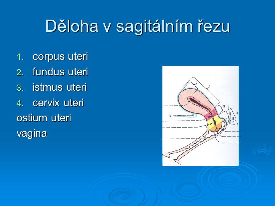 Děloha v sagitálním řezu 1. corpus uteri 2. fundus uteri 3. istmus uteri 4. cervix uteri ostium uteri vagina