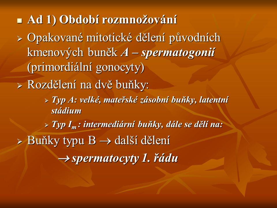 Ad 1) Období rozmnožování Ad 1) Období rozmnožování  Opakované mitotické dělení původních kmenových buněk A – spermatogonií (primordiální gonocyty) 