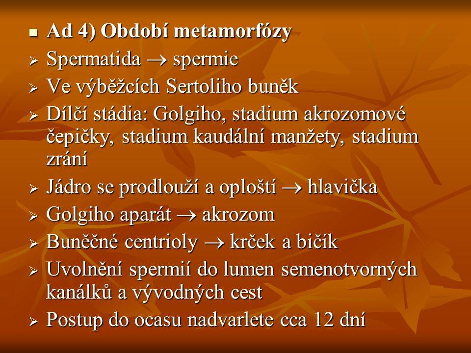 Ad 4) Období metamorfózy Ad 4) Období metamorfózy  Spermatida  spermie  Ve výběžcích Sertoliho buněk  Dílčí stádia: Golgiho, stadium akrozomové če