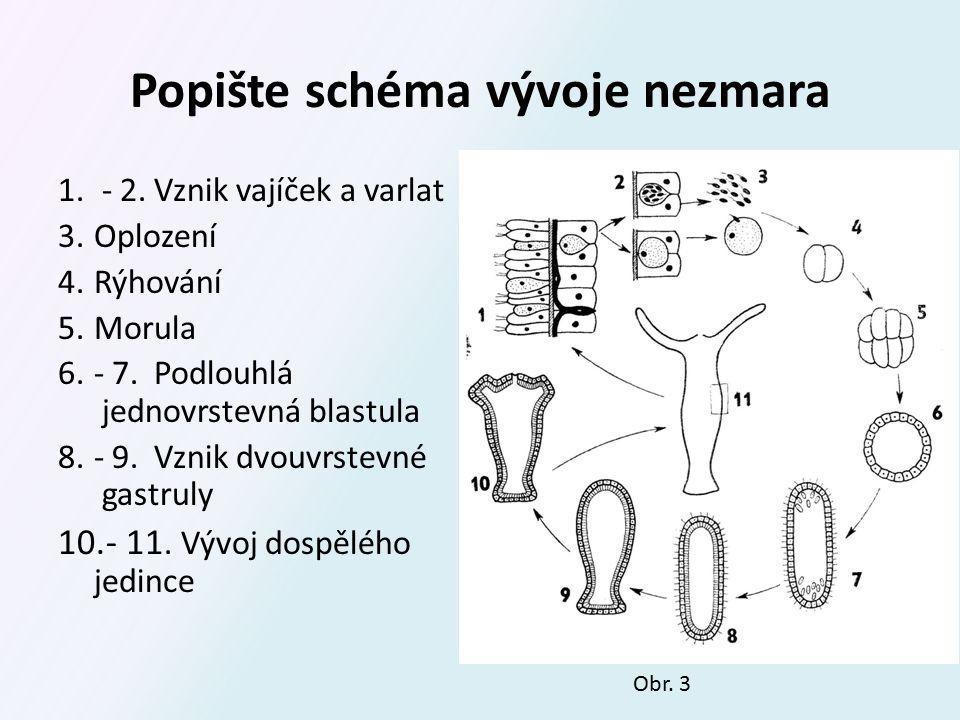 Schéma vývoje skyfomedúzy 1.Oplození 2.Blastula 3.Planula 4.