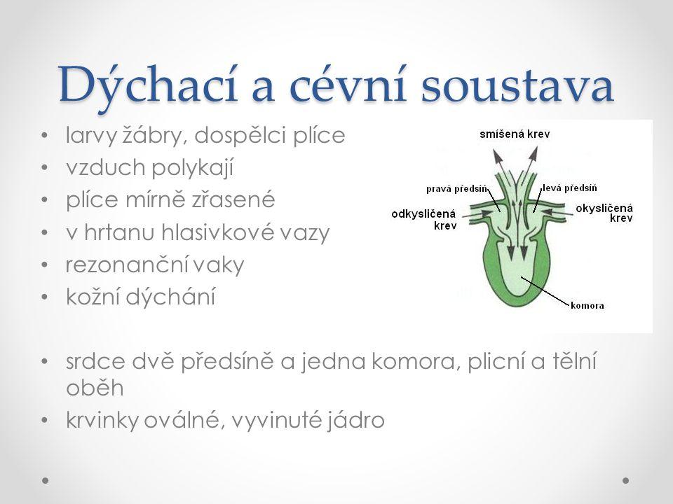 Dýchací a cévní soustava larvy žábry, dospělci plíce vzduch polykají plíce mírně zřasené v hrtanu hlasivkové vazy rezonanční vaky kožní dýchání srdce dvě předsíně a jedna komora, plicní a tělní oběh krvinky oválné, vyvinuté jádro