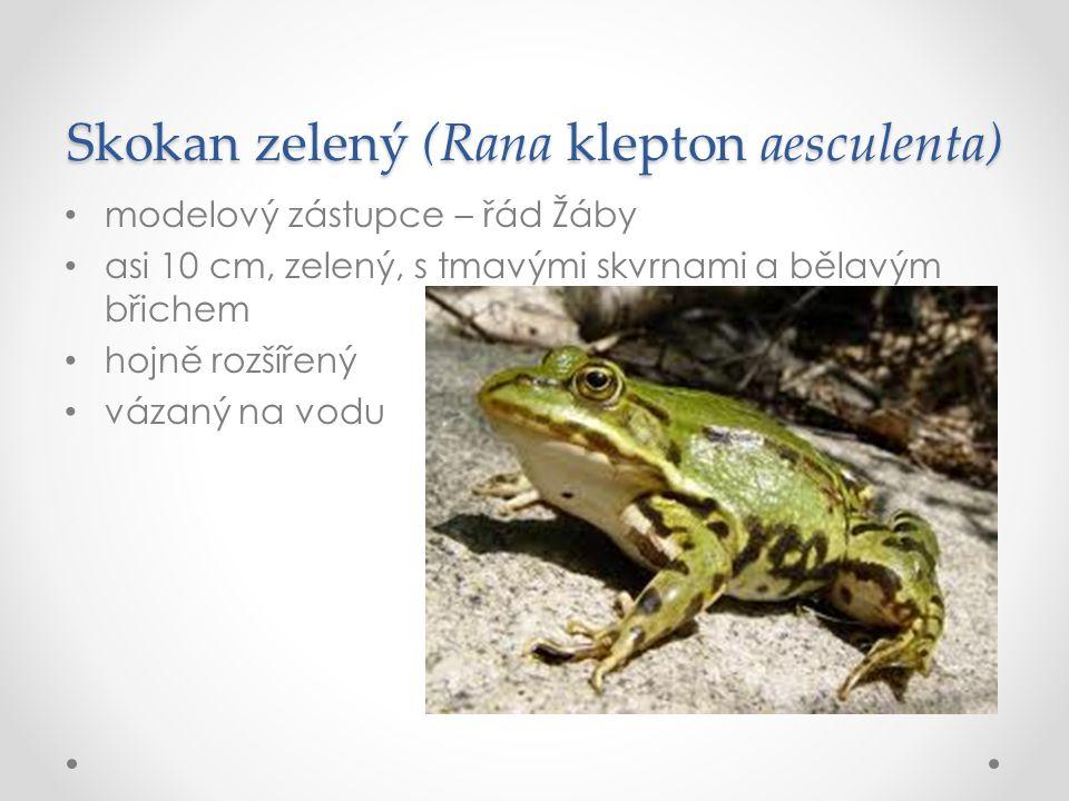 Skokan zelený (Rana klepton aesculenta) modelový zástupce – řád Žáby asi 10 cm, zelený, s tmavými skvrnami a bělavým břichem hojně rozšířený vázaný na vodu
