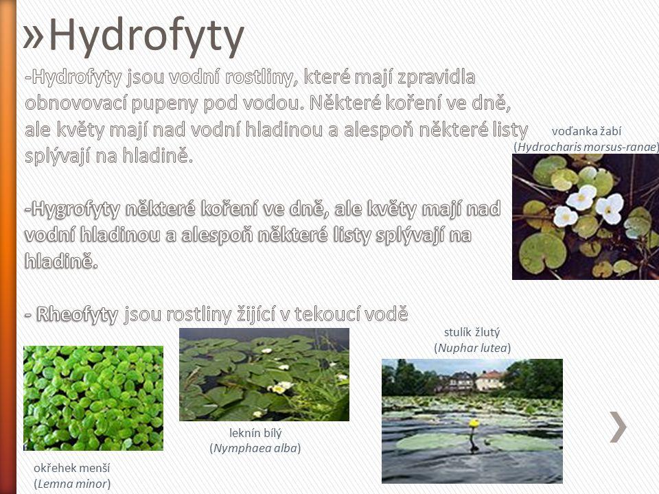 » Hydrofyty okřehek menší (Lemna minor) leknín bílý (Nymphaea alba) stulík žlutý (Nuphar lutea) voďanka žabí (Hydrocharis morsus-ranae)