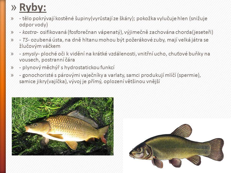 » Ryby: » - tělo pokrývají kostěné šupiny(vyrůstají ze škáry); pokožka vylučuje hlen (snižuje odpor vody) » - kostra- osifikovaná (fosforečnan vápenat