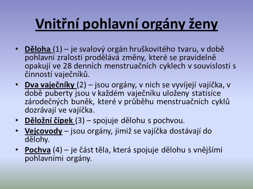Vnitřní pohlavní orgány ženy Děloha (1) – je svalový orgán hruškovitého tvaru, v době pohlavní zralosti prodělává změny, které se pravidelně opakují v