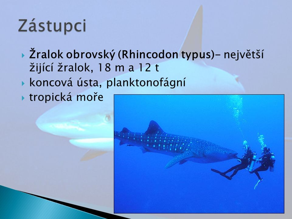  Žralok obrovský (Rhincodon typus)- největší žijící žralok, 18 m a 12 t  koncová ústa, planktonofágní  tropická moře