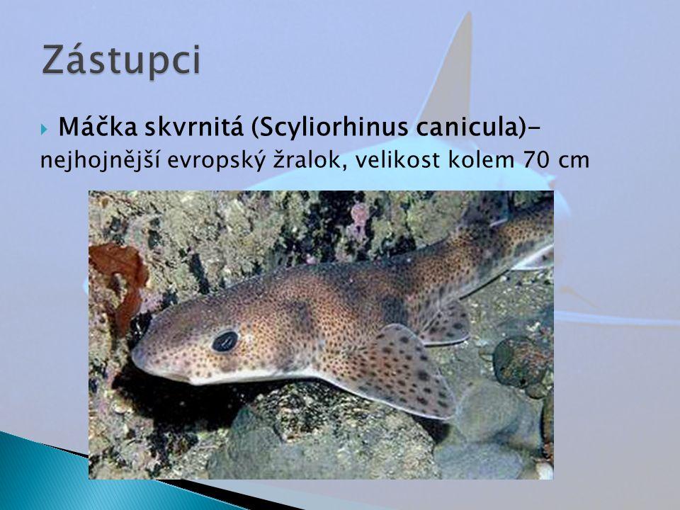  Máčka skvrnitá (Scyliorhinus canicula)- nejhojnější evropský žralok, velikost kolem 70 cm
