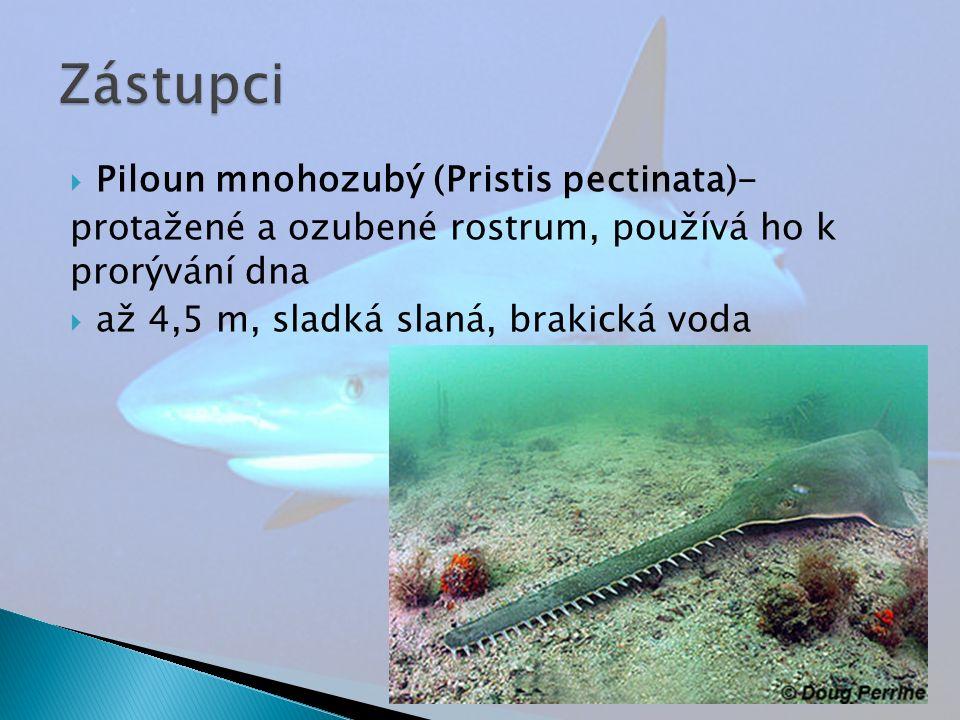  Piloun mnohozubý (Pristis pectinata)- protažené a ozubené rostrum, používá ho k prorývání dna  až 4,5 m, sladká slaná, brakická voda