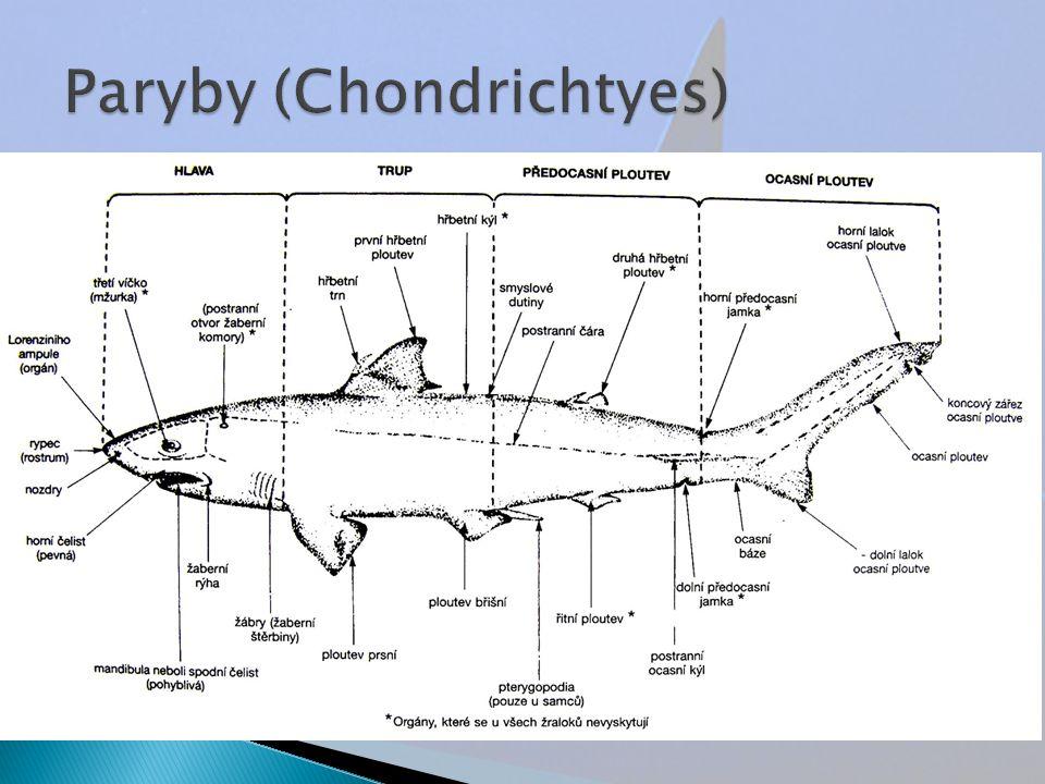  starobylá skupina  vodní, převážně mořští čelistnatci s chrupavčitou kostrou (pokud jsou zkostnatělé, nejde o pravou kost)  protáhlý rypec (rostrum)  kopulační orgány na břišních ploutvích samců  zahrnuje skupiny chiméry a příčnoústíchiméry příčnoústí
