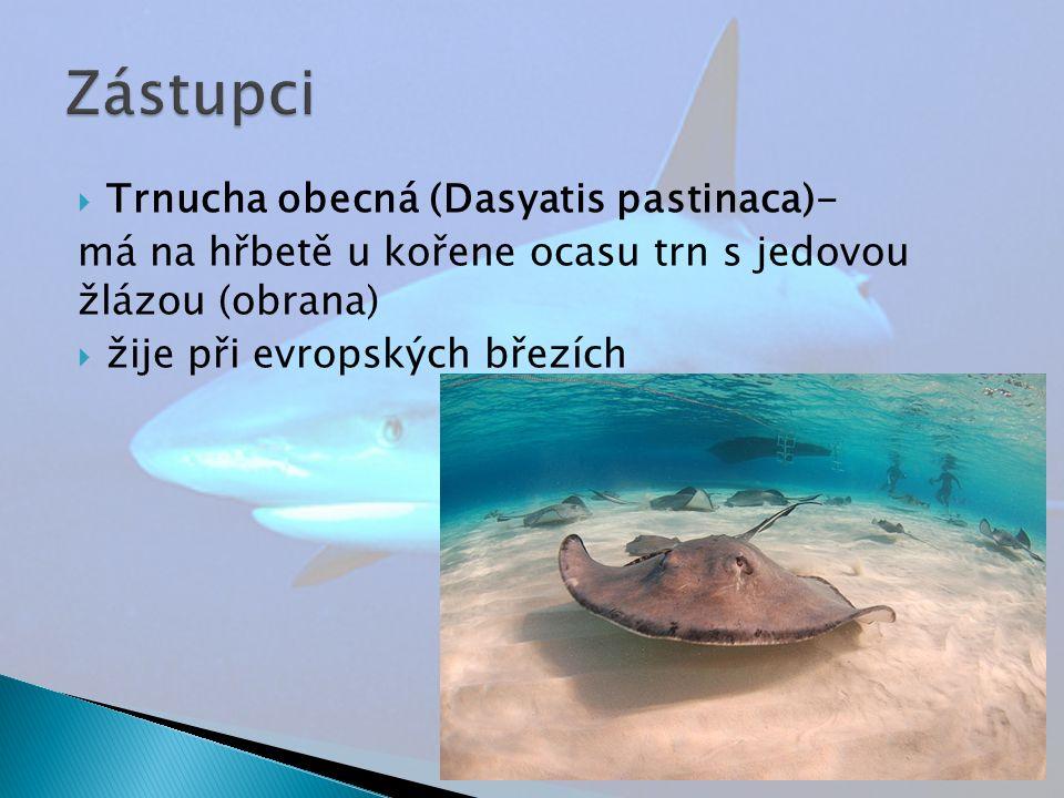  Trnucha obecná (Dasyatis pastinaca)- má na hřbetě u kořene ocasu trn s jedovou žlázou (obrana)  žije při evropských březích