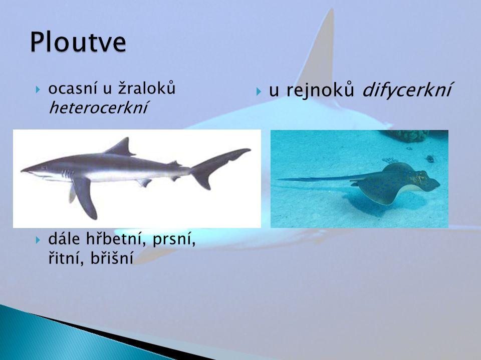  ocasní u žraloků heterocerkní  dále hřbetní, prsní, řitní, břišní  u rejnoků difycerkní