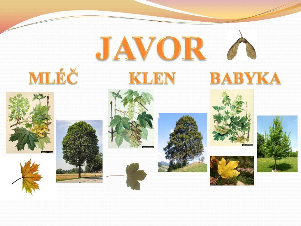 Obr.Obrazy stromů – [cit. 2011-10-25].. Obr. List jírovce – [cit.