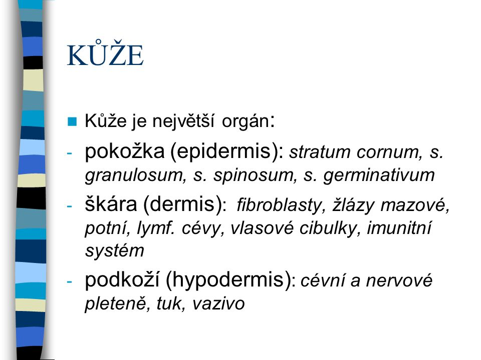 KŮŽE Kůže je největší orgán : - pokožka (epidermis): stratum cornum, s.