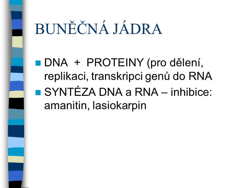 BUNĚČNÁ JÁDRA DNA + PROTEINY (pro dělení, replikaci, transkripci genů do RNA SYNTÉZA DNA a RNA – inhibice: amanitin, lasiokarpin