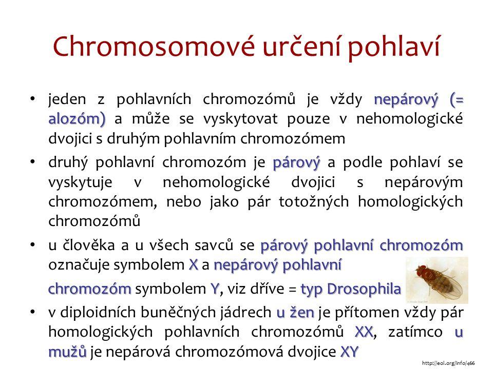 Chromosomové určení pohlaví nepárový (= alozóm) jeden z pohlavních chromozómů je vždy nepárový (= alozóm) a může se vyskytovat pouze v nehomologické dvojici s druhým pohlavním chromozómem párový druhý pohlavní chromozóm je párový a podle pohlaví se vyskytuje v nehomologické dvojici s nepárovým chromozómem, nebo jako pár totožných homologických chromozómů párový pohlavní chromozóm Xnepárový pohlavní u člověka a u všech savců se párový pohlavní chromozóm označuje symbolem X a nepárový pohlavní chromozóm Ytyp Drosophila chromozóm symbolem Y, viz dříve = typ Drosophila u žen XXu mužůXY v diploidních buněčných jádrech u žen je přítomen vždy pár homologických pohlavních chromozómů XX, zatímco u mužů je nepárová chromozómová dvojice XY http://eol.org/info/466