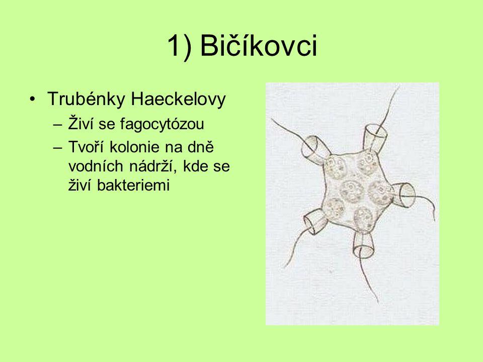 1) Bičíkovci Trubénky Haeckelovy –Živí se fagocytózou –Tvoří kolonie na dně vodních nádrží, kde se živí bakteriemi