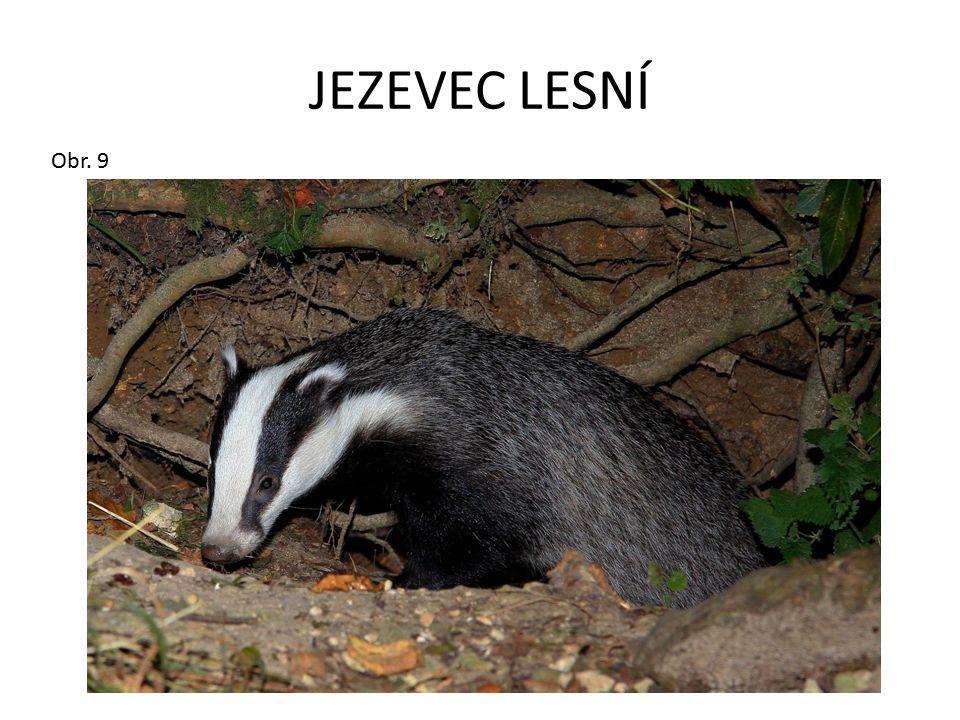 JEZEVEC LESNÍ Obr. 9
