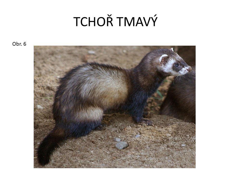 TCHOŘ TMAVÝ Obr. 6