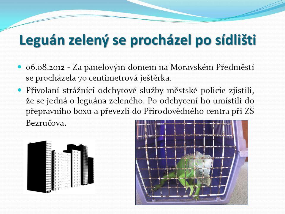 Leguán zelený se procházel po sídlišti 06.08.2012 - Za panelovým domem na Moravském Předměstí se procházela 70 centimetrová ještěrka.