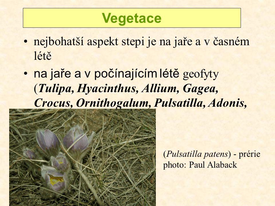 nejbohatší aspekt stepi je na jaře a v časném létě na jaře a v počínajícím létě geofyty (Tulipa, Hyacinthus, Allium, Gagea, Crocus, Ornithogalum, Pulsatilla, Adonis, Iris) Vegetace (Pulsatilla patens) - prérie photo: Paul Alaback
