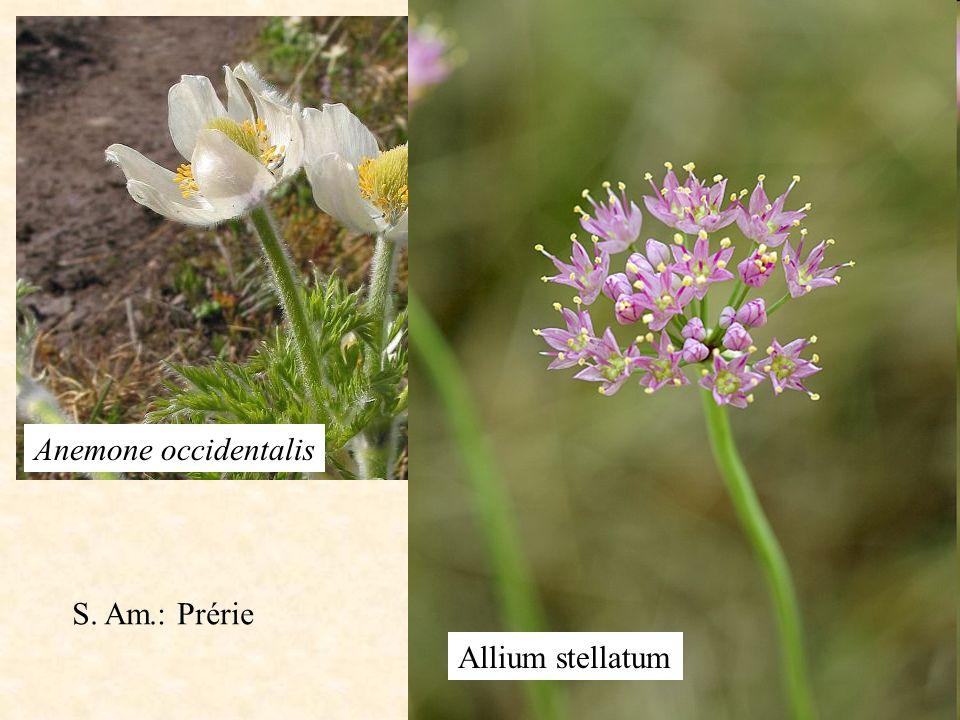 Anemone occidentalis Allium stellatum S. Am.: Prérie