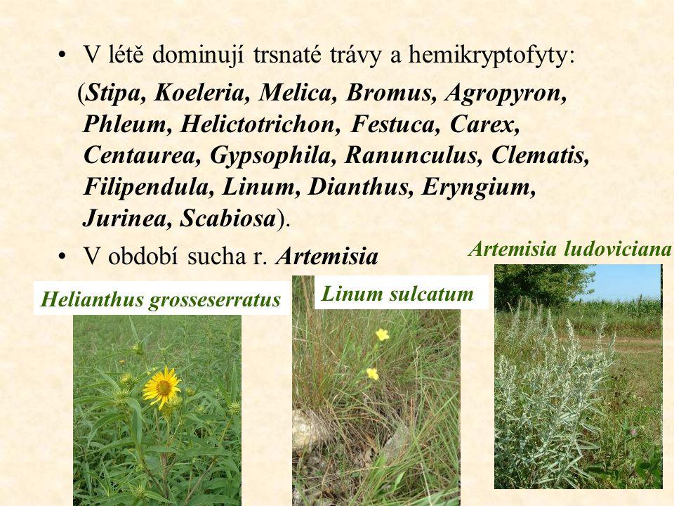 V létě dominují trsnaté trávy a hemikryptofyty: (Stipa, Koeleria, Melica, Bromus, Agropyron, Phleum, Helictotrichon, Festuca, Carex, Centaurea, Gypsophila, Ranunculus, Clematis, Filipendula, Linum, Dianthus, Eryngium, Jurinea, Scabiosa).