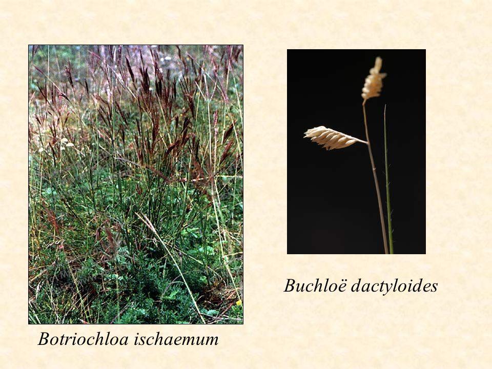 Buchloë dactyloides Botriochloa ischaemum
