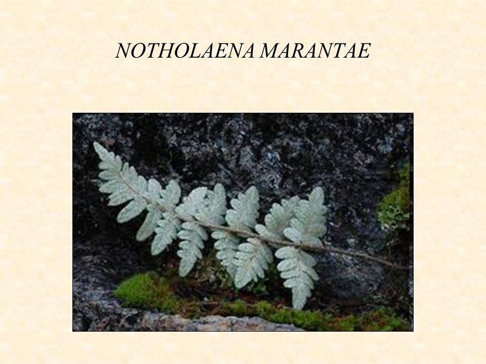 NOTHOLAENA MARANTAE