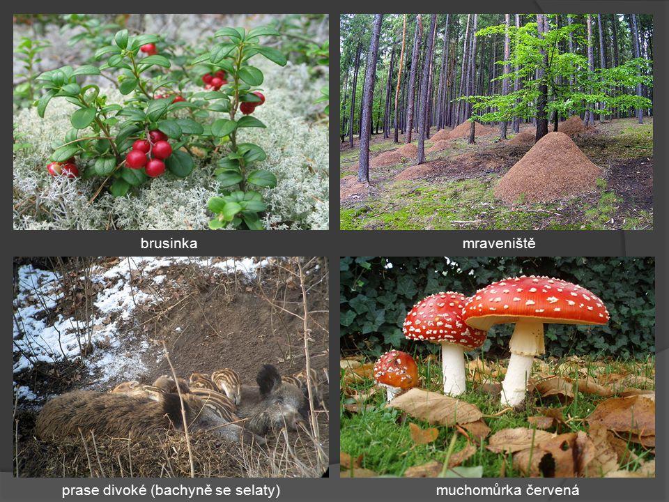 Smíšené lesy 2 výškové krajinné stupně: jedlobukový, smrkojedlobukový smrk ztepilý - trojákjedle sibiřská