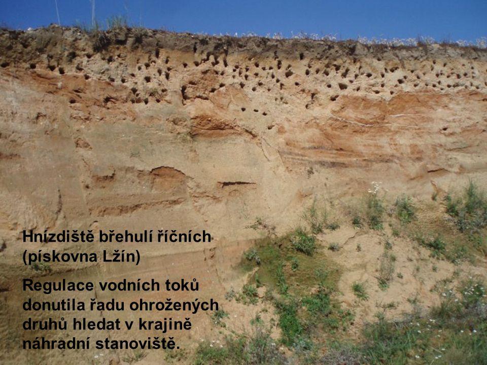 Hnízdiště břehulí říčních (pískovna Lžín) Regulace vodních toků donutila řadu ohrožených druhů hledat v krajině náhradní stanoviště.