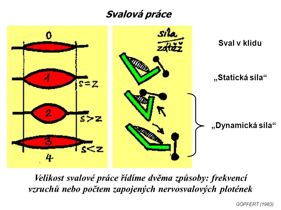 """Svalová práce Sval v klidu """"Statická síla """"Dynamická síla Velikost svalové práce řídíme dvěma způsoby: frekvencí vzruchů nebo počtem zapojených nervosvalových plotének GÖPFERT (1983)"""
