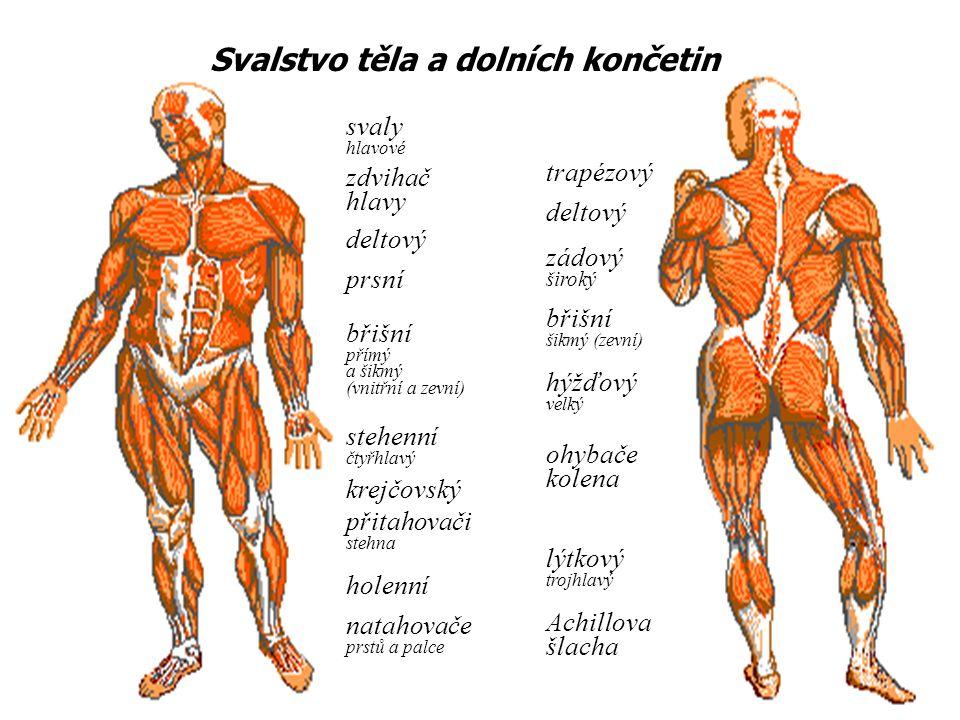 zdvihač hlavy deltový prsní břišní přímý a šikmý (vnitřní a zevní) stehenní čtyřhlavý krejčovský přitahovači stehna holenní natahovače prstů a palce trapézový deltový zádový široký břišní šikmý (zevní) ohybače kolena lýtkový trojhlavý hýžďový velký Achillova šlacha Svalstvo těla a dolních končetin svaly hlavové