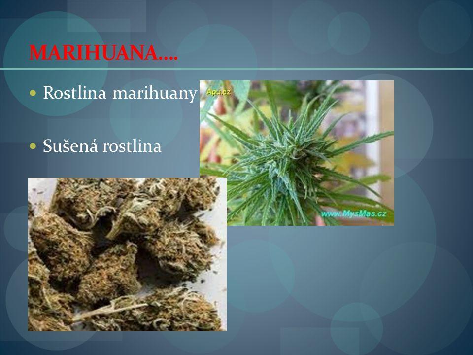 MARIHUANA…. Rostlina marihuany Sušená rostlina