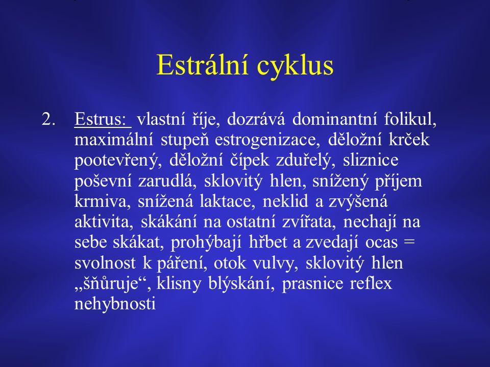 """Estrální cyklus 2.Estrus: vlastní říje, dozrává dominantní folikul, maximální stupeň estrogenizace, děložní krček pootevřený, děložní čípek zduřelý, sliznice poševní zarudlá, sklovitý hlen, snížený příjem krmiva, snížená laktace, neklid a zvýšená aktivita, skákání na ostatní zvířata, nechají na sebe skákat, prohýbají hřbet a zvedají ocas = svolnost k páření, otok vulvy, sklovitý hlen """"šňůruje , klisny blýskání, prasnice reflex nehybnosti"""