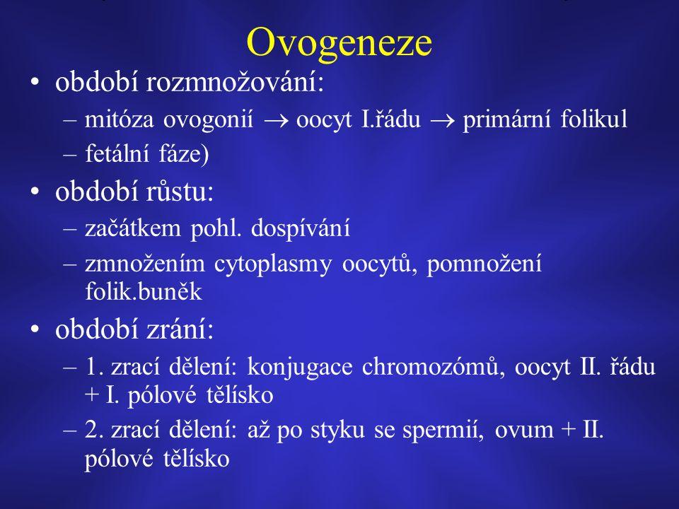Ovogeneze období rozmnožování: –mitóza ovogonií  oocyt I.řádu  primární folikul –fetální fáze) období růstu: –začátkem pohl.